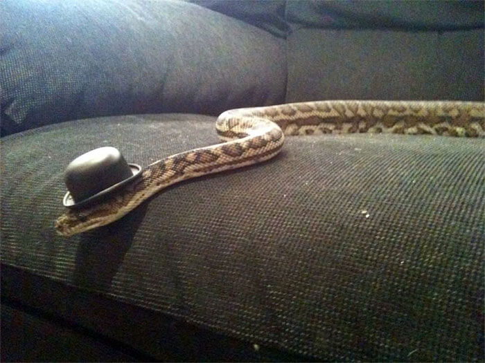 snakes wearing hats 17 (1)
