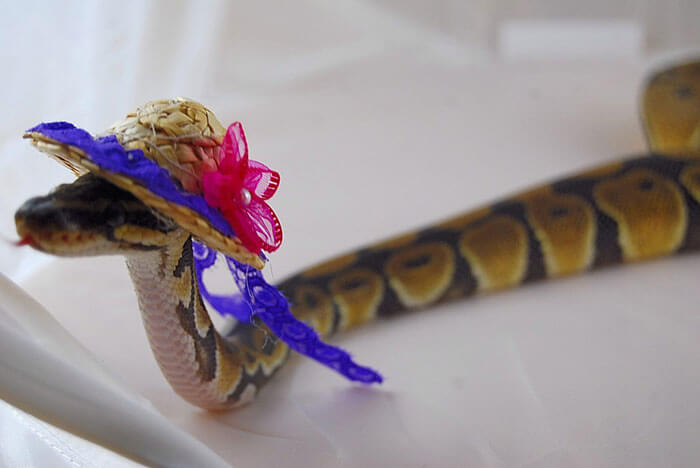 snakes wearing hats 20 (1)
