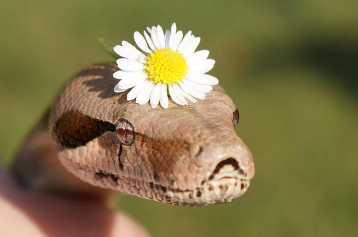 snakes wearing hats 21 (1)