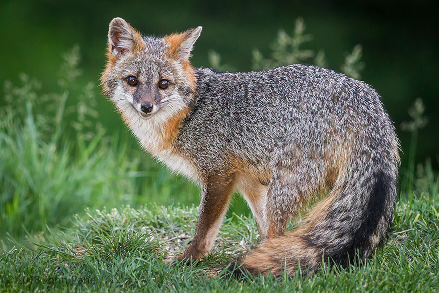 types of foxes 11 (1)