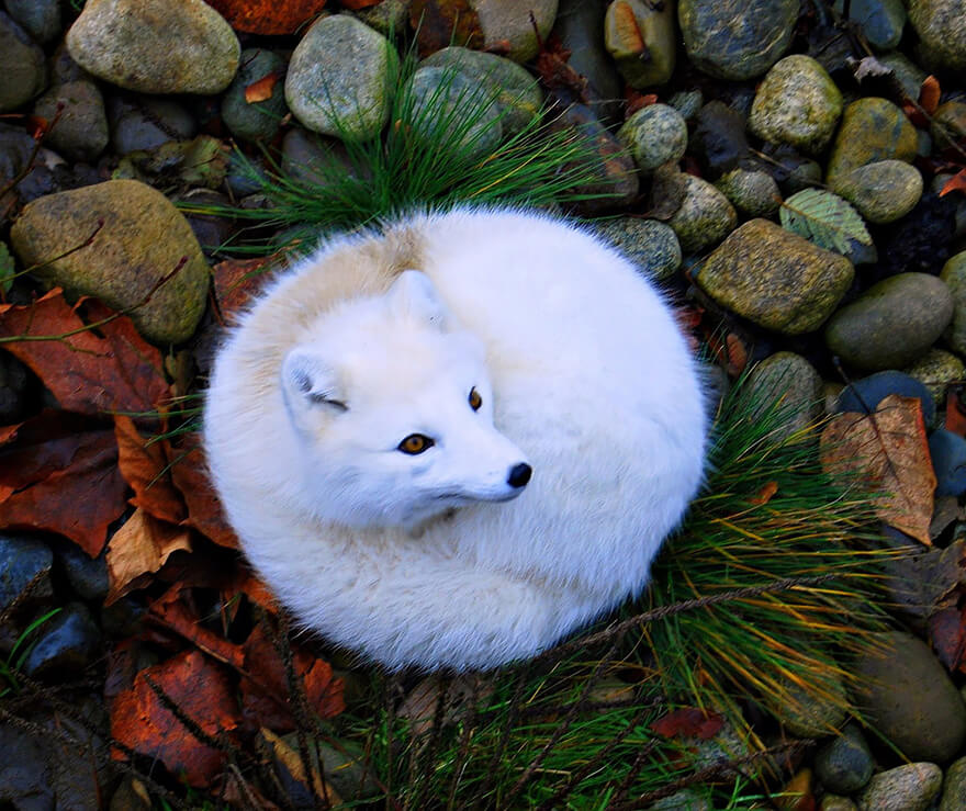 types of foxes 15 (1)