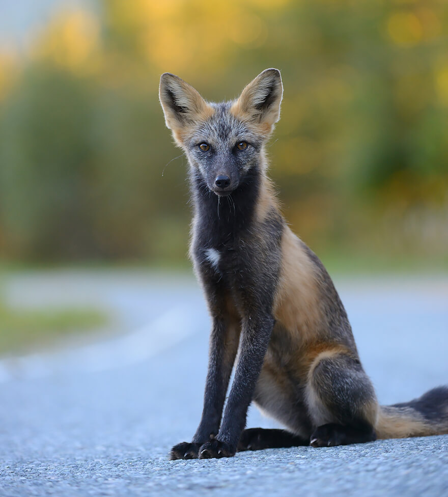 types of foxes 19 (1)
