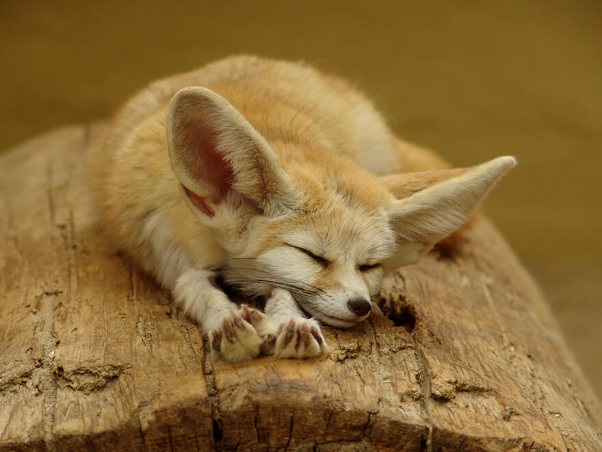 types of foxes 2 (1)