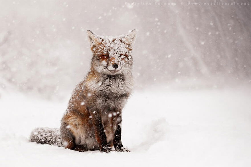 type of foxes 3 (1)