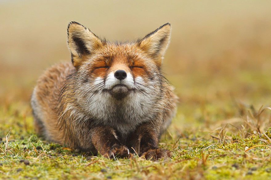 type of foxes 6 (1)