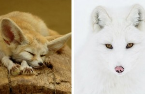 types of foxes feat (1)