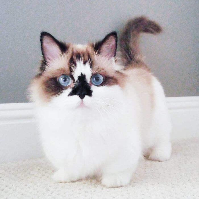 albert munchkin cat