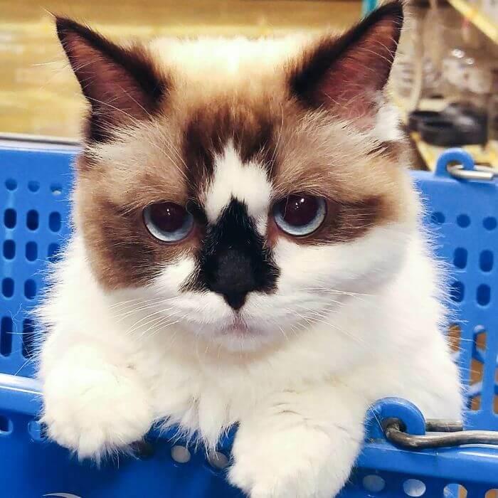albert munchkin cat 2