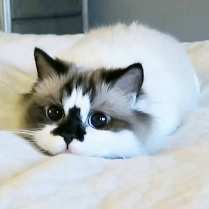 albert munchkin cat 5