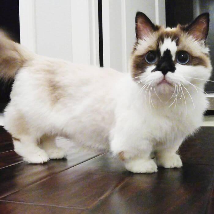 albert munchkin cat 6