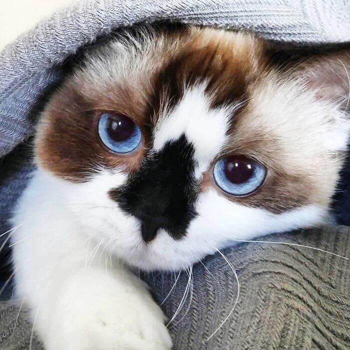 albert munchkin cat 7