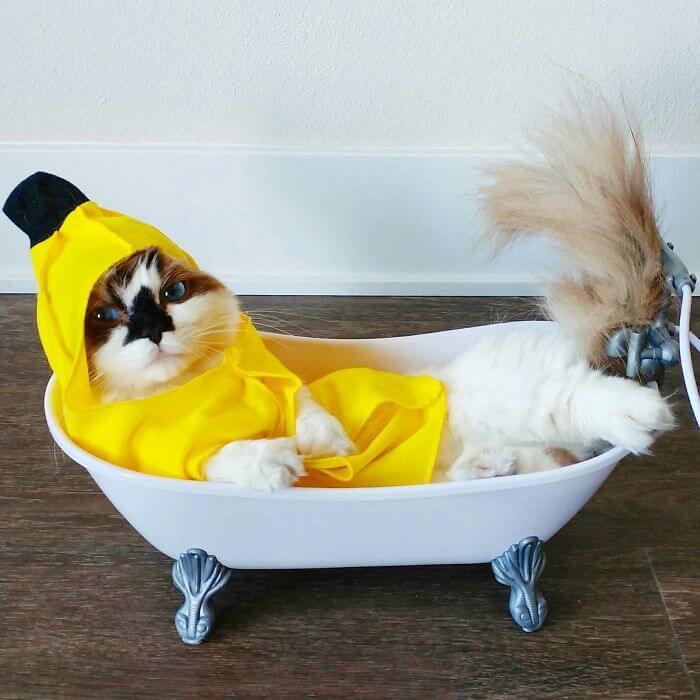 albert munchkin cat 8