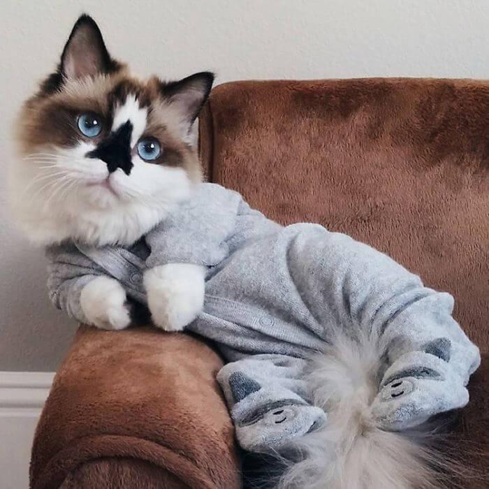 albert munchkin cat 9