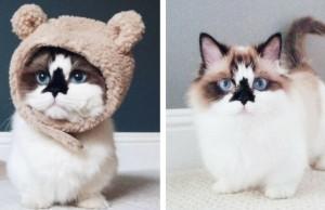 albert the munchkin cat feat (1)