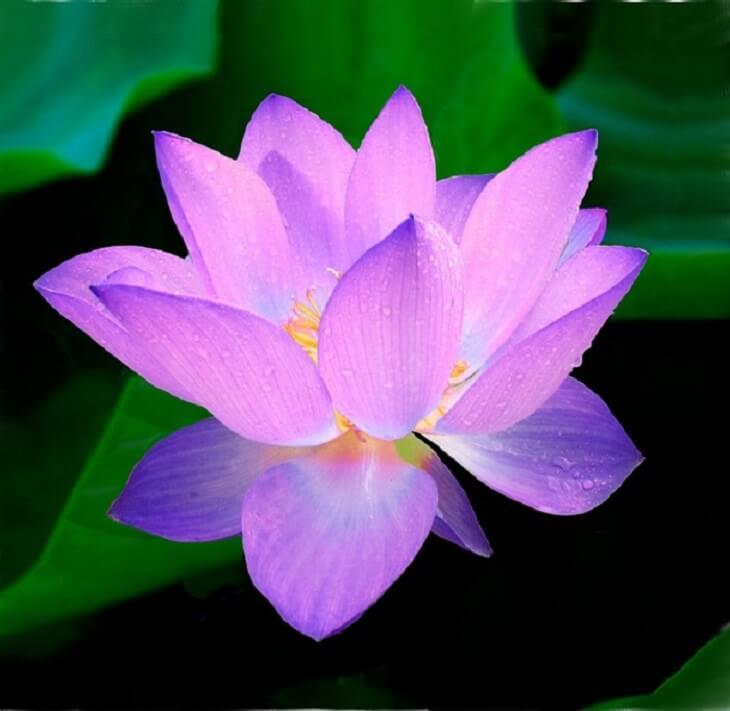 lotus flower 10 (1)