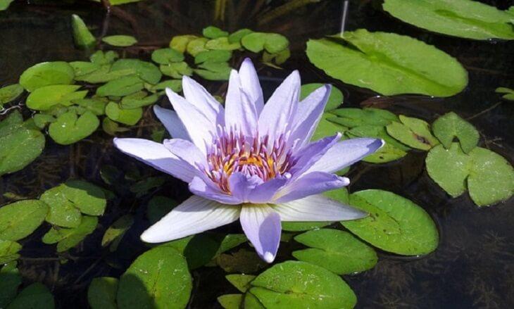 lotus flower 2 (1)