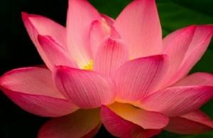 lotus flower feat (1)