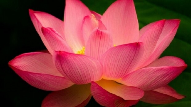 The lotus flower and its beautiful story and meaning mightylinksfo