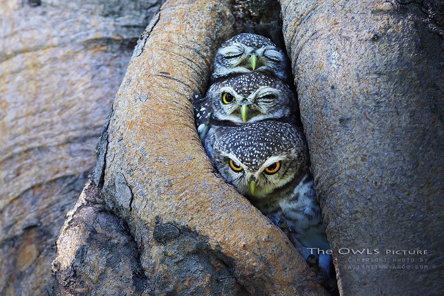 owl photography (1)