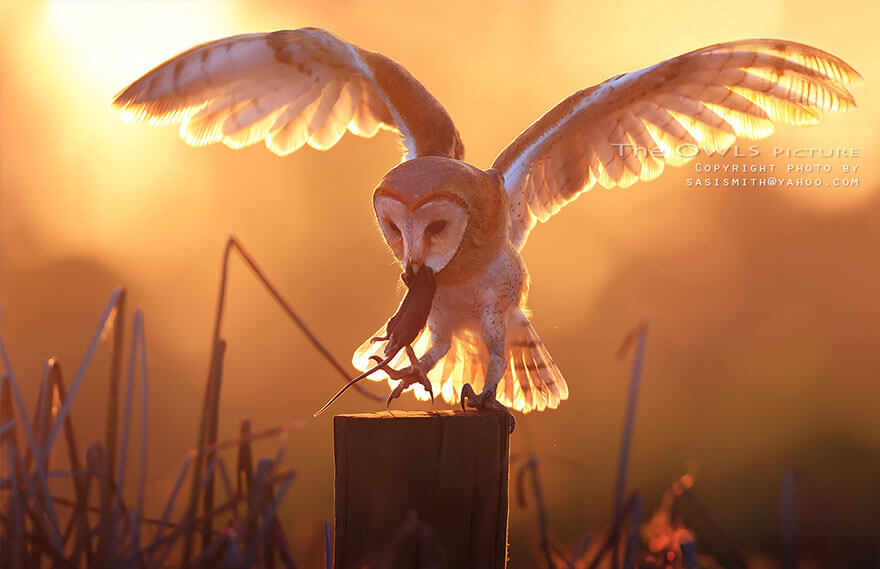 owl photos 5 (1)