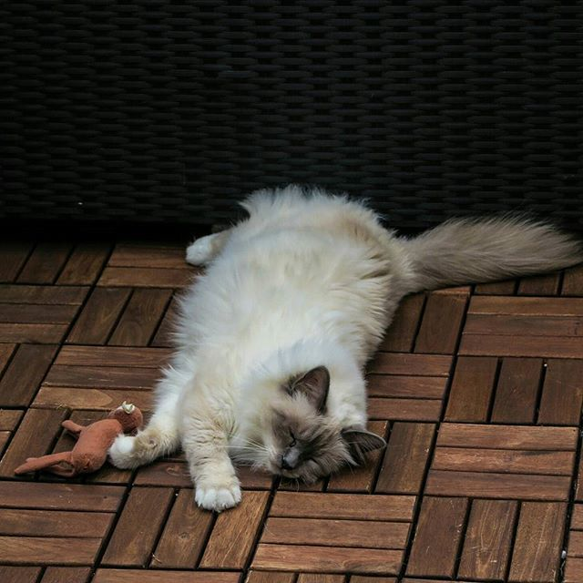 birman cats facts