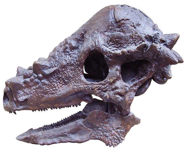 738px-pachycephalosaurus_skull