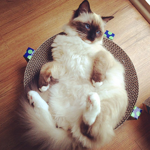 birman kitten sitting in his bed