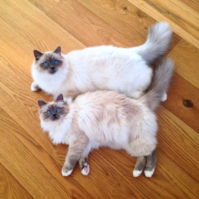 two beautiful birman cats