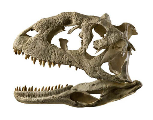 Majungasaurus facts 4 (1)