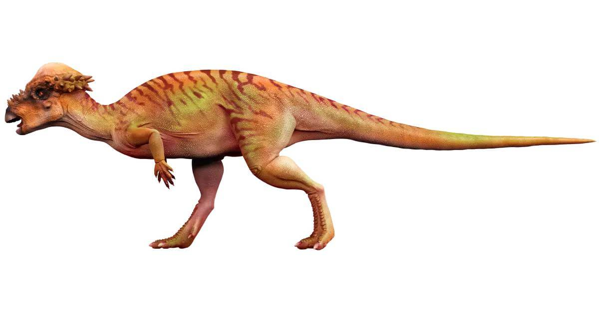 Pachycephalosaurus facts 13 (1)