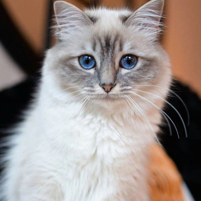 blue eyed birman cat