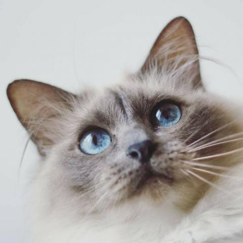 10 Birman Cats Facts That Are Just Super Adorable