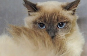 birman cats facts feat (1) (1)