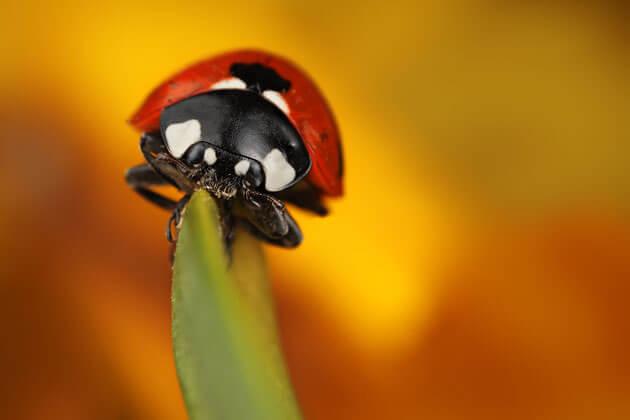 images of ladybeetles 10 (1)
