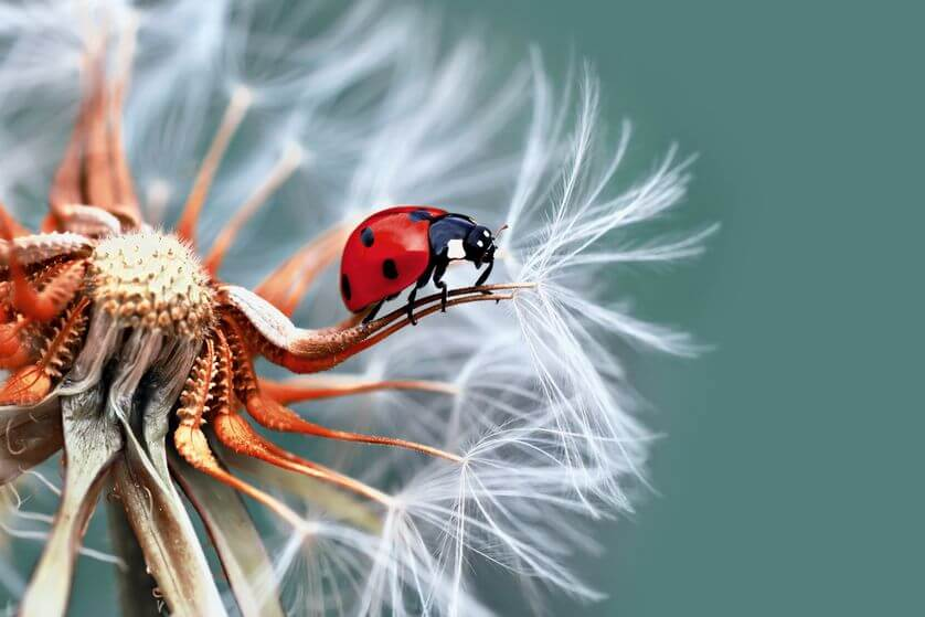 pictures of ladybugs 16 (1)