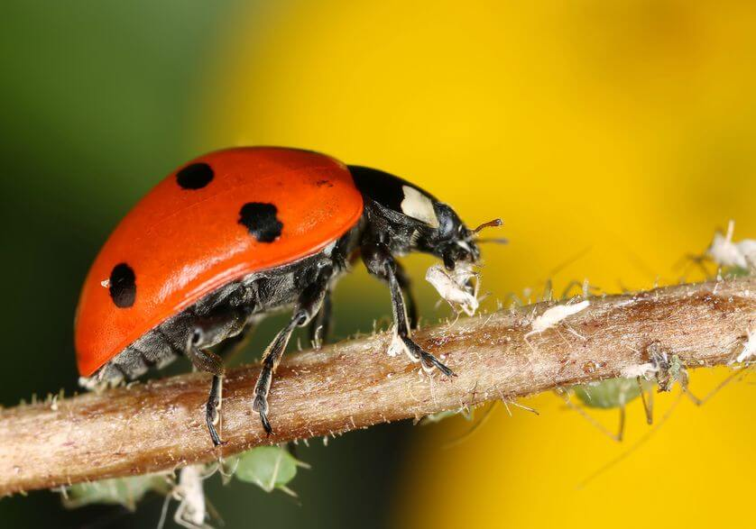 pictures of ladybugs 17 (1)