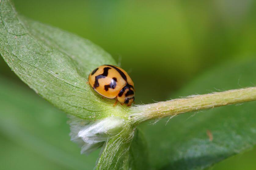 images of ladybugs 18 (1)