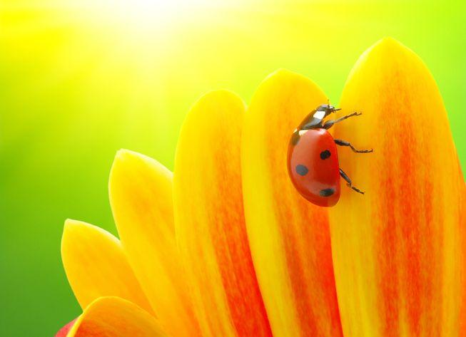 images of ladybugs 19 (1)