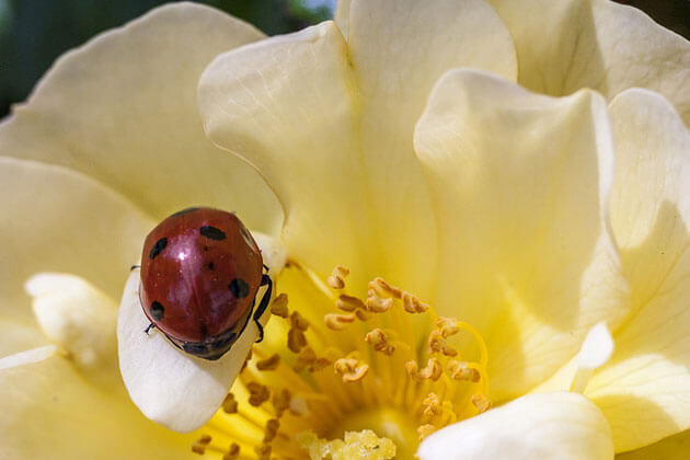 images of ladybugs 2 (1)