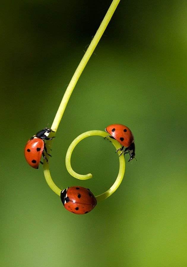 images of ladybugs 3 (1)