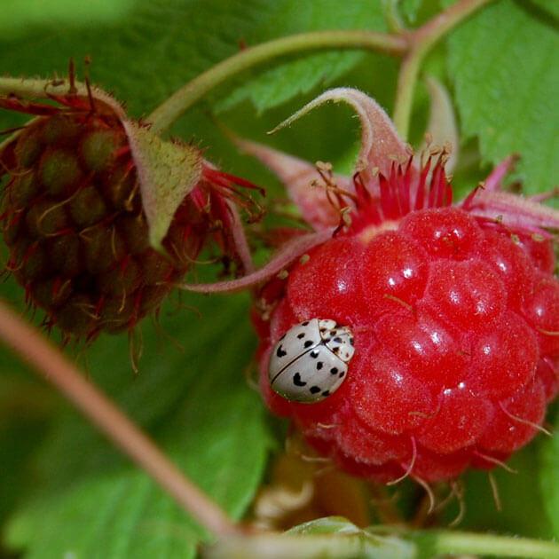 pics of ladybugs 5 (1)