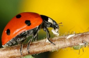 images of ladybugs feat (1)