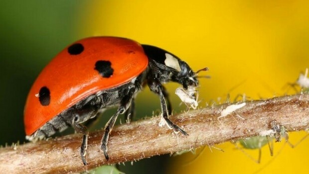 images of ladybugs feat (1)