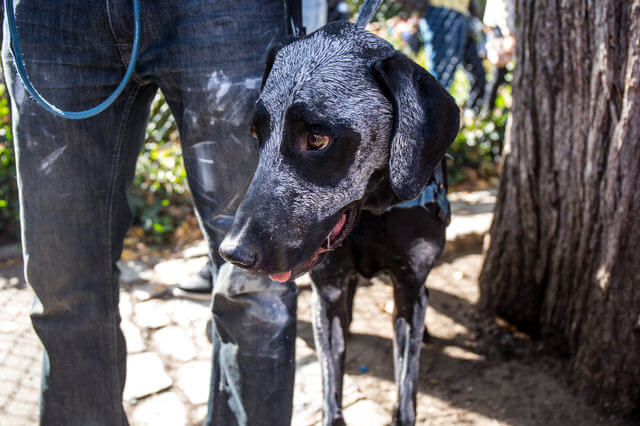All The Dogs from 2017 Tompkins Square Halloween Parade 12 (1)