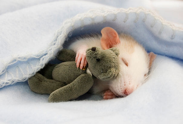 Rats With Teddy Bears ellen van deelen jessica florence 1 (1)