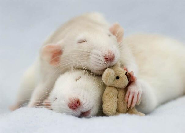 Rats With Teddy Bears ellen van deelen jessica florence 10 (1)
