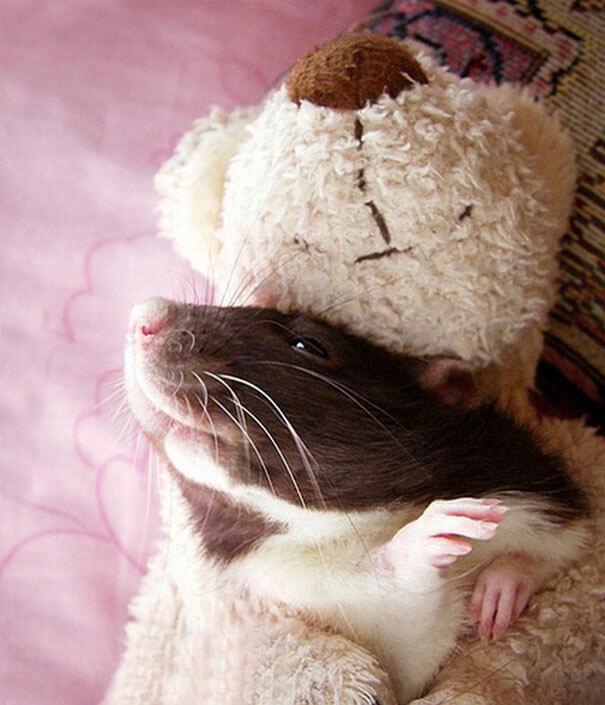 Rats With Teddy Bears ellen van deelen jessica florence 11 (1)