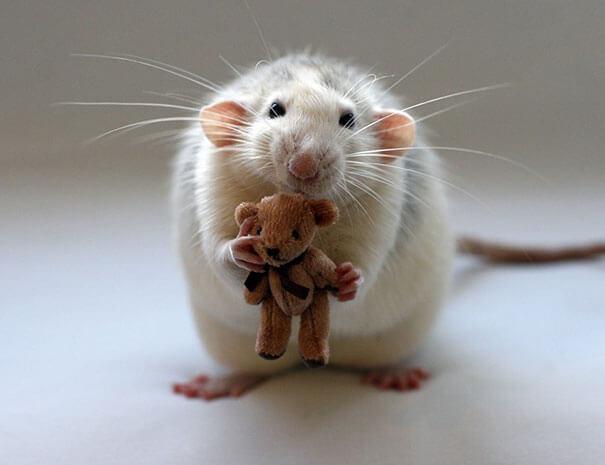 Rats With Teddy Bears ellen van deelen jessica florence 13 (1)