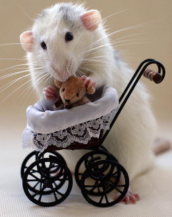 Rats With Teddy Bears ellen van deelen jessica florence 14 (1)