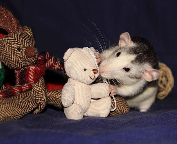 Rats With Teddy Bears ellen van deelen jessica florence 19 (1)